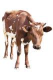 Vitello della mucca Fotografie Stock Libere da Diritti