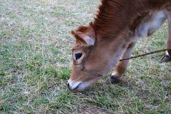 Vitello della mucca di Domastic che mangia erba nella terra fotografia stock