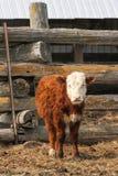 Vitello della mucca di Hereford sull'azienda agricola Immagini Stock
