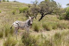 Vitello della zebra Fotografie Stock