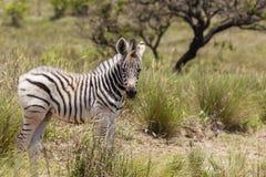 Vitello della zebra Fotografie Stock Libere da Diritti