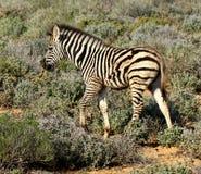 Vitello della zebra del Sudafrica Immagini Stock