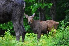 Vitello delle alci del bambino nel parco del Algonquin fotografie stock libere da diritti