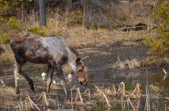 Vitello delle alci nel parco del Algonquin Fotografia Stock Libera da Diritti
