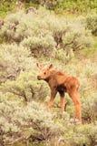 Vitello delle alci in Sagebrush Fotografia Stock