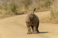 Vitello di rinoceronte fotografie stock libere da diritti