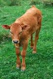 Vitello di una mucca Fotografie Stock