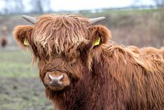 Vitello di una mucca scozzese Fotografie Stock Libere da Diritti
