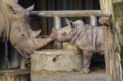 Vitello e madre di rinoceronte Immagini Stock Libere da Diritti