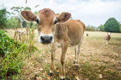 Vitello e pecore curiosi Immagini Stock