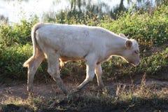 vitello e sera fotografia stock libera da diritti