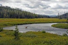 Vitello nel fiume Yellowstone del Lewis Fotografie Stock Libere da Diritti