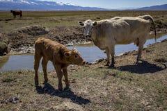 Vitello neonato con sua madre Fotografie Stock
