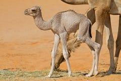 Vitello neonato del cammello Fotografia Stock Libera da Diritti