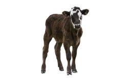 Vitello o giovane mucca Immagini Stock