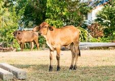 Vitello o giovani mucche nel campo Immagini Stock