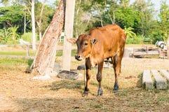 Vitello o giovani mucche nel campo Fotografie Stock Libere da Diritti