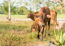 Vitello o giovani mucche nel campo Fotografie Stock