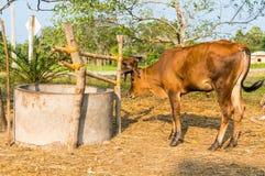 Vitello o giovani mucche nel campo Immagini Stock Libere da Diritti