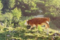 Vitello rosso e bianco del bestiame della razza di Hereford che pasce Fotografie Stock
