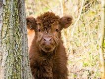 Vitello scozzese della mucca dell'altopiano Fotografia Stock
