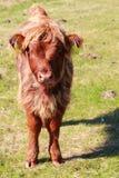 Vitello scozzese in Lofoten Immagine Stock Libera da Diritti