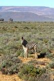 Vitello sudafricano del bambino della zebra Fotografia Stock Libera da Diritti