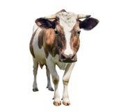 Vitello sveglio divertente isolato su bianco Esaminando fine della mucca di marrone della macchina fotografica la giovane su Vite Immagini Stock