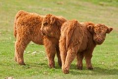 Vitello sveglio due del bestiame dell'altopiano Fotografia Stock Libera da Diritti