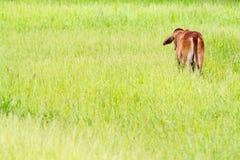 Vitello tailandese della mucca Fotografie Stock