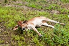 Vitello tailandese della mucca Fotografia Stock