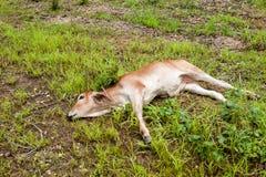 Vitello tailandese della mucca Fotografia Stock Libera da Diritti