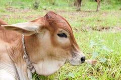 Vitello tailandese della mucca Immagine Stock Libera da Diritti
