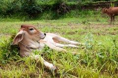 Vitello tailandese della mucca Fotografie Stock Libere da Diritti