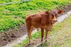 Vitello in un recinto chiuso verde in Figi immagini stock
