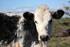 Vitello in una piccola azienda agricola fotografie stock libere da diritti