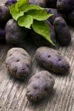 Vitelotte blue-violet potato (Solanum x ajanhuiri Vitelotte Noir Stock Images