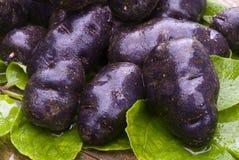 Vitelotte blue-violet potato (Solanum x ajanhuiri Vitelotte Noir Stock Photography