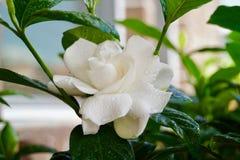 Viten av gardeniajasminblom i sommar royaltyfri foto