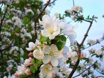 Viten och de rosa blommorna av äppleträdet blomstrade Arkivfoto