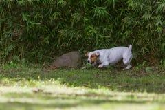 Vitesse de Jack Russell Terrier Running At Full photo stock