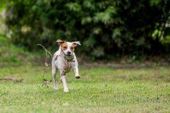 Vitesse de Russell Terrier Dog Running With de pasteur photos stock