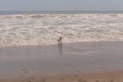 Vitesse de Russell Terrier Running At Full de pasteur image libre de droits