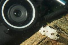 Vitesse sous-marine de photographe près de Nudibranch blanc image libre de droits