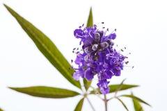 Vitex, árvore pura, planta médica Fotografia de Stock Royalty Free