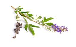 Vitex agnus-castus,也叫vitex、纯洁树或者chastetree、chasteberry,亚伯拉罕的香脂、淡紫色chastetree或者修士的胡椒 库存照片