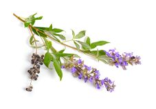 Vitex agnus-castus, also called vitex, chaste tree or chastetree, chasteberry, Abraham`s balm, lilac chastetree or monk`s pepper. Isolated stock photos