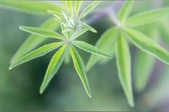 Vitex agnus-castus. Green plant, from mediterraneo. Macro Photography Royalty Free Stock Photo
