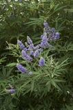 Vitex agnus-castus shrub. With lavender inflorescence Royalty Free Stock Image