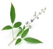 Vitex Negundo eller medicinska Nishinda sidor med blommor Arkivbild